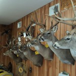 Deer Taxidermy in Maine