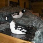Photo of mounted ducks