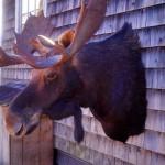 Photo of mounted moose head